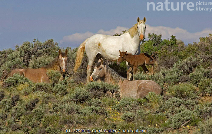Mustang / Wild horse family group, mare + two fillies + colt foal, Wyoming, USA Adobe Town HM, FAMILIES,GROUPS,HORSES,MAMMALS,MUSTANGS,NORTH AMERICA,PERISSODACTYLA,RESERVE,Equines, Carol Walker