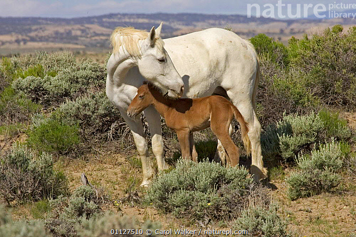 Mustang / Wild horse - white mare protects newborn colt foal, Wyoming, USA. Adobe Town, BABIES,COLOUR,DIFFERENCE,FAMILIES,FAMILY,HORSES,MAMMALS,MOTHER,MUSTANGS,NORTH AMERICA,PARENTAL BEHAVIOUR,PERISSODACTYLA,RESERVE,SAGEBRUSH,TWO,USA,Equines, Carol Walker