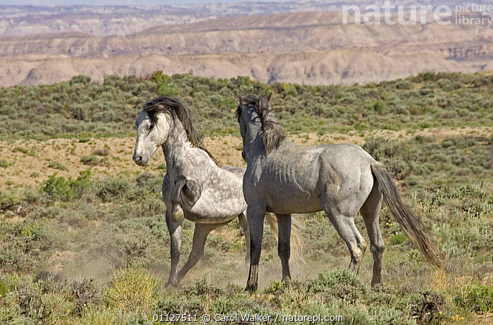 Mustang / Wild horse - dominant grey mare strikes out at stallion, Wyoming, USA. Adobe, AGGRESSION,BEHAVIOUR,DOMINANCE,HORSES,MAMMALS,MUSTANGS,NORTH AMERICA,PERISSODACTYLA,RESERVE,SOCIAL BEHAVIOUR,TWO,USA,Concepts,Equines, Carol Walker