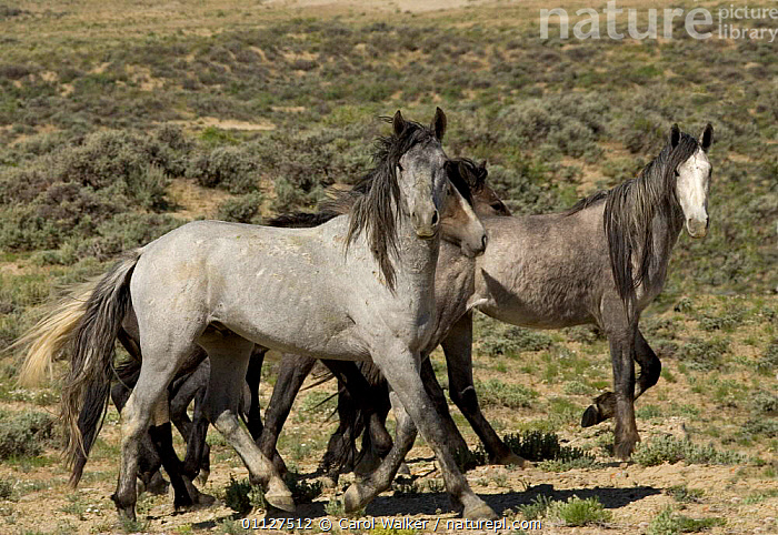Mustang / Wild horse - four grey mares in band moving together, Wyoming, USA. Adobe, BEHAVIOUR,GROUPS,HORSES,MAMMALS,MARE,MUSTANGS,NORTH AMERICA,PERISSODACTYLA,RESERVE,USA,Equines, Carol Walker