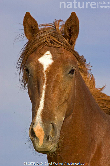 Mustang / Wild horse - chestnut filly portrait, Wyoming, USA. Adobe Town HMA, HORSES,MAMMALS,NORTH AMERICA,PERISSODACTYLA,PORTRAITS,RESERVE,USA,VERTICAL,Equines, Carol Walker