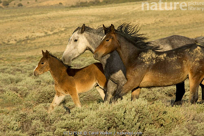 Mustang / Wild horse family group running, mare + filly + colt foal, Wyoming, USA. Adobe, ACTION,FAMILIES,GROUPS,HORSES,MAMMALS,MOVEMENT,MUSTANGS,NORTH AMERICA,PERISSODACTYLA,RESERVE,THREE,USA,Equines, Carol Walker