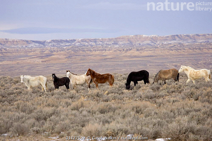 Mustang / Wild horse - chestnut stallion + six mares, Wyoming, USA. Adobe Town HMA, GROUP,GROUPS,HORSES,LANDSCAPES,MAMMALS,MUSTANGS,NORTH AMERICA,PERISSODACTYLA,RESERVE,USA,Equines, Carol Walker