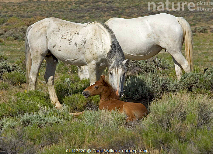 Mustang / Wild horse - stallion nudging colt, mare grazing, Wyoming, USA. Adobe, AFFECTION,BABIES,FAMILIES,FAMILY,FOAL,GROUP,GROUPS,HORSES,MAMMALS,MUSTANGS,NORTH AMERICA,PERISSODACTYLA,RESERVE,USA,Equines, Carol Walker