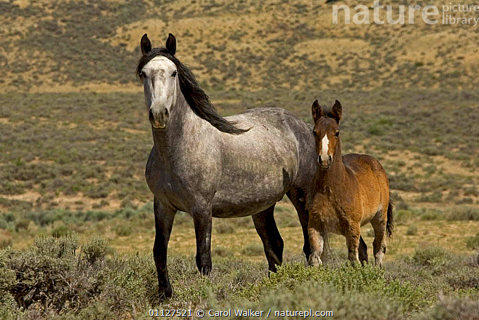 Mustang / Wild horse - grey mare and colt foal standing, Wyoming, USA. Adobe Town HMA, BABIES,FAMILIES,FAMILY,HORSES,MAMMALS,MUSTANGS,NORTH AMERICA,PERISSODACTYLA,RESERVE,USA,Equines, Carol Walker