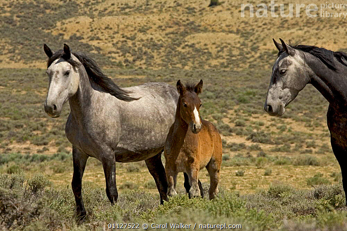 Mustang / Wild horse - mare watches grey mare + colt foal, Wyoming, USA. Adobe Town HMA, BABIES,FAMILIES,FAMILY,HORSES,MAMMALS,MUSTANGS,NORTH AMERICA,PERISSODACTYLA,RESERVE,STANDING,USA,Equines, Carol Walker
