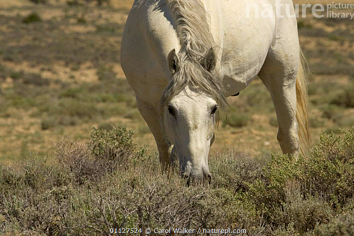 Mustang / Wild horse - grey stallion watches while grazing, Wyoming, USA. Adobe Town HMA, FEEDING,HORSES,MAMMALS,MUSTANGS,NORTH AMERICA,PERISSODACTYLA,RESERVE,USA,Equines, Carol Walker