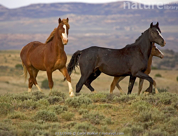 Mustang / Wild horse - two mares + colt foal trotting, Wyoming, USA. Adobe Town HMA, FAMILIES,GROUPS,HORSES,MAMMALS,MOVEMENT,MUSTANGS,NORTH AMERICA,PERISSODACTYLA,RESERVE,THREE,USA,Equines, Carol Walker