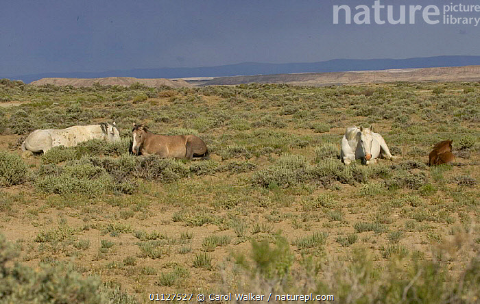 Mustang / Wild horse - grey stallion, filly, mare + colt resting, Wyoming, USA. Adobe, FAMILIES,FAMILY,FOAL,GROUPS,HORSES,LYING,MAMMALS,MUSTANGS,NORTH AMERICA,PERISSODACTYLA,RESERVE,SLEEPING,USA,Equines, Carol Walker