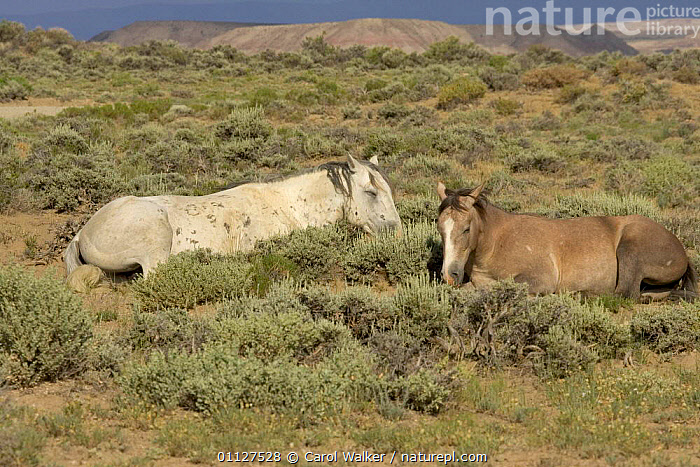 Mustang / Wild horse - grey stallion + filly resting, Wyoming, USA. Adobe Town HMA, COLT,FAMILIES,FAMILY,HORSES,LYING,MAMMALS,MUSTANGS,NORTH AMERICA,PERISSODACTYLA,RESERVE,SLEEPING,TWO,USA,Equines, Carol Walker