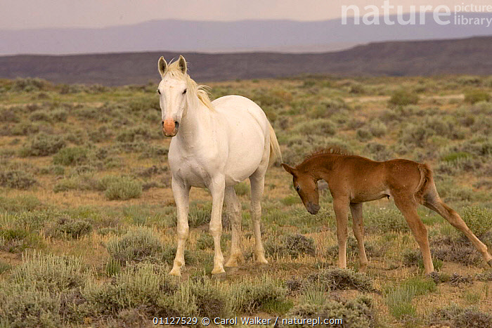 Mustang / Wild horse - grey mare with colt foal stretching, Wyoming, USA. Adobe Town HMA, BABIES,FAMILIES,FAMILY,HORSES,MAMMALS,MUSTANGS,NORTH AMERICA,PERISSODACTYLA,RESERVE,TWO,USA,Equines, Carol Walker