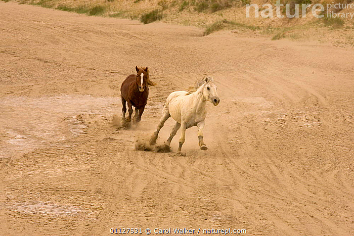 Mustang / Wild horse - chestnut stallion chasing grey stallion, Wyoming, USA. Adobe, ACTION,AGGRESSION,BEHAVIOUR,COMPETITION,DOMINANCE,HORSES,MALES,MAMMALS,MUSTANGS,NORTH AMERICA,PERISSODACTYLA,RESERVE,RIVERBED,RUNNING,TWO,USA,Concepts,Equines, Carol Walker