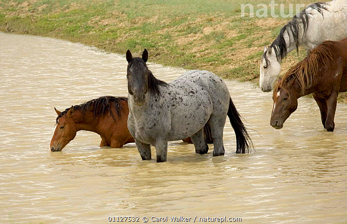 Mustang / Wild horse - stallions + mares drinking at waterhole, Wyoming, USA. Adobe  ,  BEHAVIOUR,FOUR,GROUPS,HORSES,MAMMALS,MUSTANGS,NORTH AMERICA,PERISSODACTYLA,RESERVE,USA,Equines  ,  Carol Walker