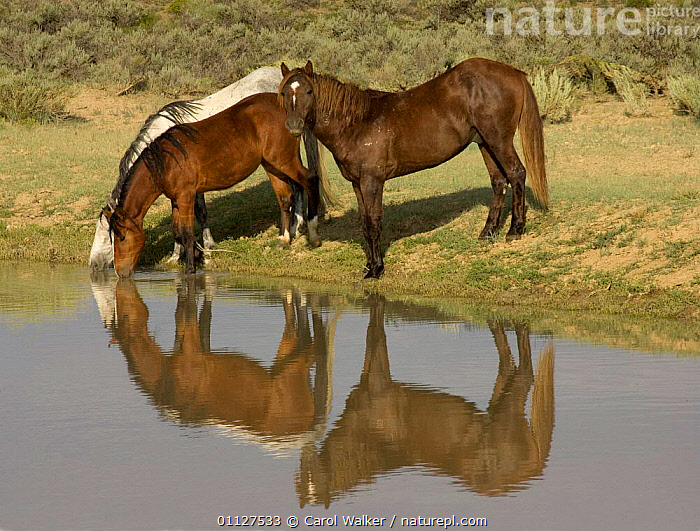 Mustang / Wild horse - stallion + mares drinking at waterhole, Wyoming, USA. Adobe, BEHAVIOUR,GROUPS,HORSES,MAMMALS,MUSTANGS,NORTH AMERICA,PERISSODACTYLA,REFLECTIONS,RESERVE,STALLIONS,THREE,USA,Equines, Carol Walker