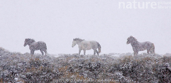 Mustang / Wild horse - mares + stallion in snow storm, Wyoming, USA. Adobe Town HMA, HORSES,MAMMALS,MUSTANGS,NORTH AMERICA,PANORAMIC,PERISSODACTYLA,RESERVE,SNOWING,STORMS,THREE,USA,WEATHER,WINTER,Equines,Catalogue1, Carol Walker