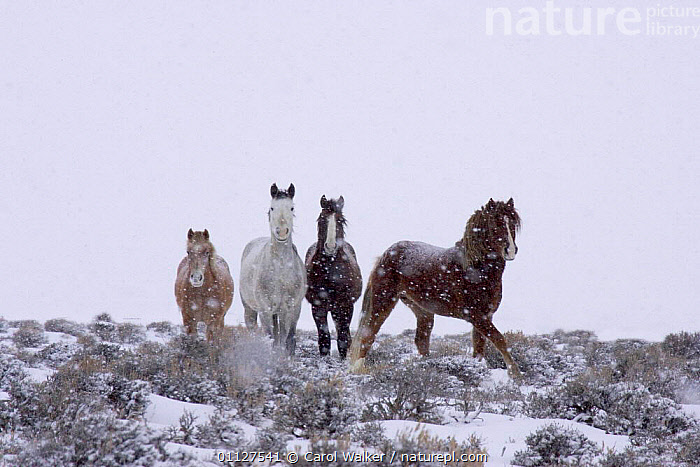 Mustang / Wild horse - mares + stallion in snow storm, Wyoming, USA. Adobe Town HMA, FOUR,GROUPS,HORSES,MAMMALS,MUSTANGS,NORTH AMERICA,PERISSODACTYLA,RESERVE,SNOWING,STORMS,USA,WEATHER,WINTER,Equines, Carol Walker