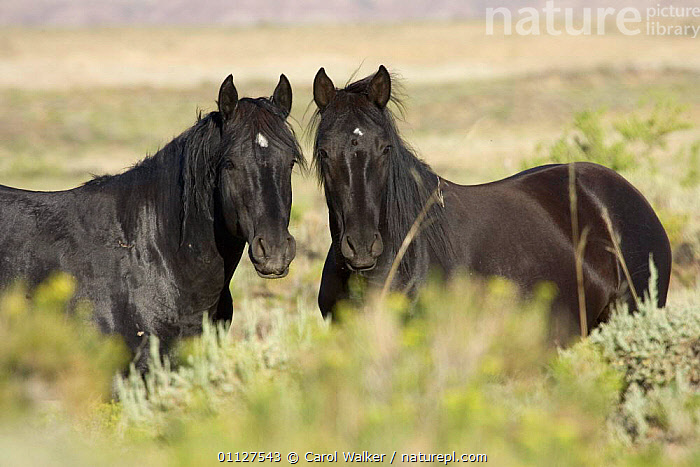 Mustang / Wild horse - black stallion and mare, Wyoming, USA. Adobe Town HMA  ,  HORSES,MALE FEMALE PAIR,MAMMALS,MUSTANGS,NORTH AMERICA,PERISSODACTYLA,PORTRAITS,RESERVE,TWO,USA,Equines  ,  Carol Walker