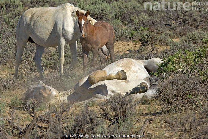 Mustang / Wild horse - stallion rolls to coat itself with dust against flies,, BEHAVIOUR,HORSES,MAMMALS,MUSTANGS,NORTH AMERICA,PERISSODACTYLA,PESTS,PROTECTION,RESERVE,ROLLING,USA,WYOMING,Equines, Carol Walker