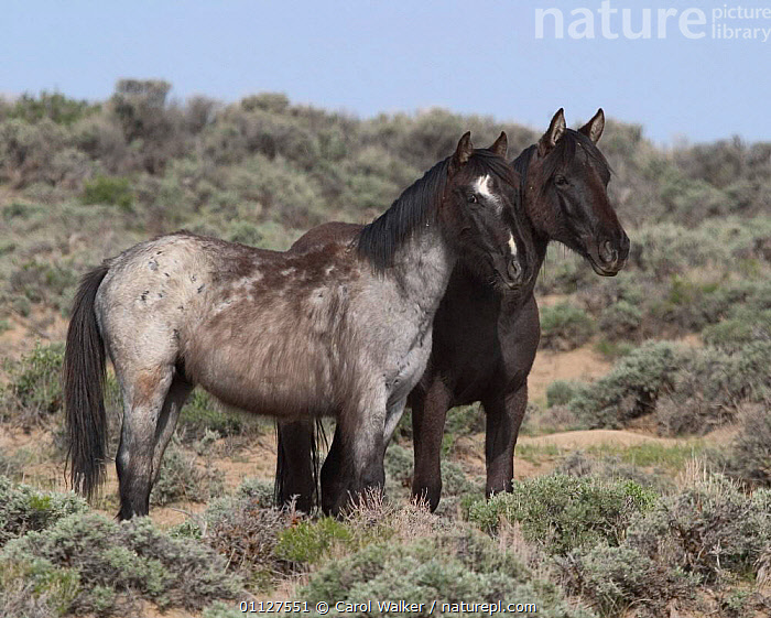 Mustang / Wild horse yearlings - black filly, grey colt, Wyoming, USA. Adobe Town, HORSES,JUVENILE,MAMMALS,NORTH AMERICA,PERISSODACTYLA,RESERVE,TWO,USA,Equines, Carol Walker
