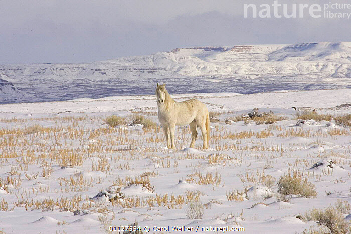 Mustang / Wild horse grey stallion in snow, Wyoming, USA. Adobe Town HMA., CAMOUFLAGE,HORSES,LANDSCAPES,MAMMALS,NORTH AMERICA,PERISSODACTYLA,RESERVE,USA,WINTER,Equines, Carol Walker