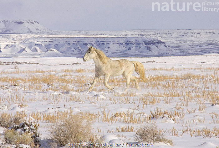 Mustang / Wild horse, grey stallion trotting in snow, Wyoming, USA. Adobe Town HMA, CAMOUFLAGE,HORSES,LANDSCAPES,MAMMALS,MOVEMENT,NORTH AMERICA,PERISSODACTYLA,RESERVE,RUNNING,USA,WINTER,Equines, Carol Walker