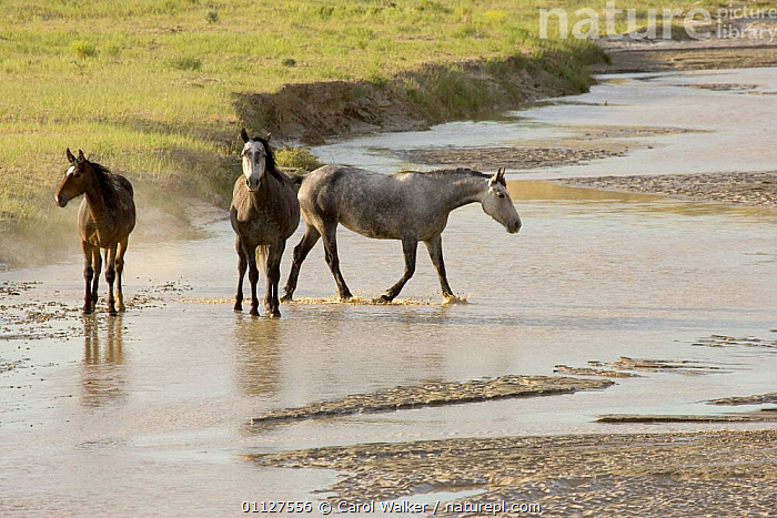 Mustang / Wild horse, two grey mares + bay filly cross river, Wyoming, USA. Adobe Town, CROSSING,HORSES,MAMMALS,NORTH AMERICA,PERISSODACTYLA,RESERVE,RIVERS,THREE,USA,Equines, Carol Walker