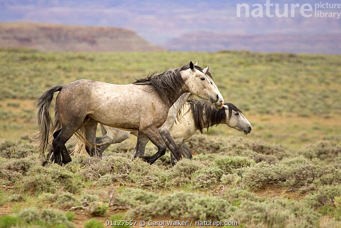 Mustang / Wild horse, old grey mare herding two mares in group, Wyoming, USA. Adobe Town, BEHAVIOUR,DOMINANT,GROUPS,HORSES,MAMMALS,NORTH AMERICA,PERISSODACTYLA,RESERVE,SOCIAL BEHAVIOUR,THREE,USA,Equines, Carol Walker