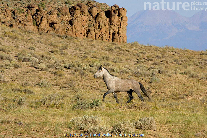 Mustang / Wild horse, grey stallion trotting, Colorado, USA. Spring Creek HMA., HABITAT,HORSES,LANDSCAPES,MAMMALS,MOVEMENT,NORTH AMERICA,PERISSODACTYLA,RESERVE,USA,WYOMING,Equines, Carol Walker