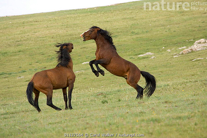 Mustang / Wild horse, two stallions fighting, Montana, USA. Pryor mountains HMA, ACTION,AGGRESSION,BEHAVIOUR,DOMINANCE,HORSES,MALES,MAMMALS,NORTH AMERICA,ONE,PERISSODACTYLA,REARING,RESERVE,STALLION,USA,WYOMING,Concepts,Equines, Carol Walker