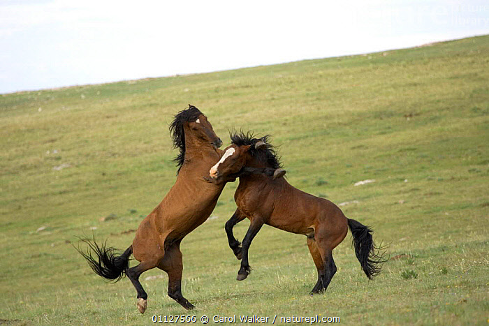 Mustang / Wild horse, two stallions fighting, Montana, USA. Pryor mountains HMA, ACTION,AGGRESSION,BEHAVIOUR,DOMINANCE,HORSES,MALES,MAMMALS,NORTH AMERICA,PERISSODACTYLA,REARING,RESERVE,STALLION,USA,WYOMING,Concepts,Equines, Carol Walker