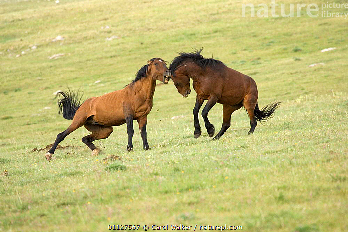 Mustang / Wild horse stallions fighting, Montana, USA. Pryor mountains HMA, AGGRESSION,BEHAVIOUR,DOMINANCE,HORSES,MALES,MAMMALS,NORTH AMERICA,PERISSODACTYLA,REARING,RESERVE,STALLION,TWO,USA,WYOMING,Concepts,Equines, Carol Walker
