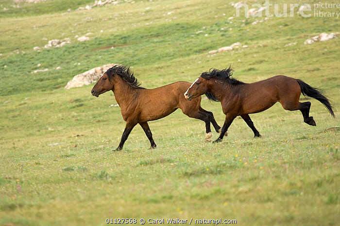 Mustang / Wild horse stallions fighting, one chasing other, Montana, USA. Pryor, AGGRESSION,BEHAVIOUR,DOMINANCE,HORSES,MALES,MAMMALS,MOUNTAINS,NORTH AMERICA,PERISSODACTYLA,RESERVE,STALLION,TWO,USA,WYOMING,Concepts,Equines, Carol Walker