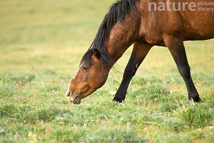Mustang / Wild horse stallion snaking neck aggressively , Montana, USA., AGGRESSION,BEHAVIOUR,DOMINANCE,HORSES,MALES,MAMMALS,NORTH AMERICA,PERISSODACTYLA,RESERVE,USA,WYOMING,Concepts,Equines, Carol Walker