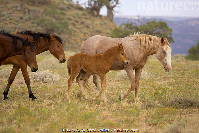 Mustang / Wild horse mares and foal walking, Colorado, USA. Spring Creek HMA, BABIES,BABY,FAMILIES,GREY,GROUPS,HORSES,MAMMALS,MOTHER,NORTH AMERICA,PERISSODACTYLA,RESERVE,USA,WYOMING,Equines, Carol Walker