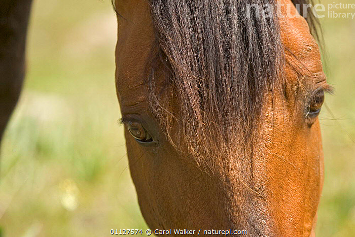 Mustang / Wild horse close up of stallion's eyes while grazing, Montana, USA. Pryor, CLOSE UPS,FEEDING,HORSES,MAMMALS,MOUNTAINS,NORTH AMERICA,PERISSODACTYLA,RESERVE,STALLION,USA,WYOMING,Equines, Carol Walker