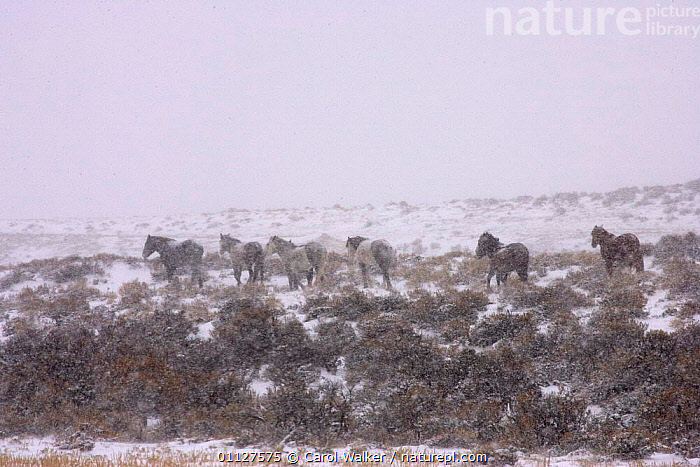 Mustang / Wild horse herd walking away in snow storm, Wyoming, USA. Adobe Town HMA, CAMOUFLAGE,GREY,GROUP,GROUPS,HORSES,LANDSCAPES,MAMMALS,NORTH AMERICA,PERISSODACTYLA,RESERVE,USA,WEATHER,WINTER,Equines, Carol Walker