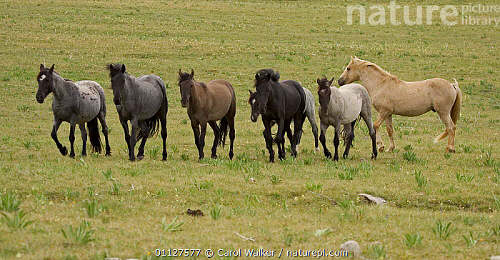 Mustang / Wild horse palamino stallion with mares, Montana, USA. Pryor mountains HM, GROUP,GROUPS,HERD,HORSES,MAMMALS,NORTH AMERICA,PERISSODACTYLA,RESERVE,USA,WYOMING,Equines, Carol Walker