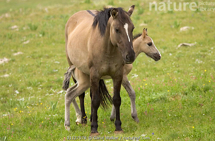 Mustang / Wild horse mare with newborn colt, Montana, USA. Pryor mountains HMA, BABIES,BABY,CUTE,FAMILIES,FOAL,HORSES,MAMMALS,MARES,MOTHER,NORTH AMERICA,PERISSODACTYLA,RESERVE,USA,WYOMING,Equines, Carol Walker