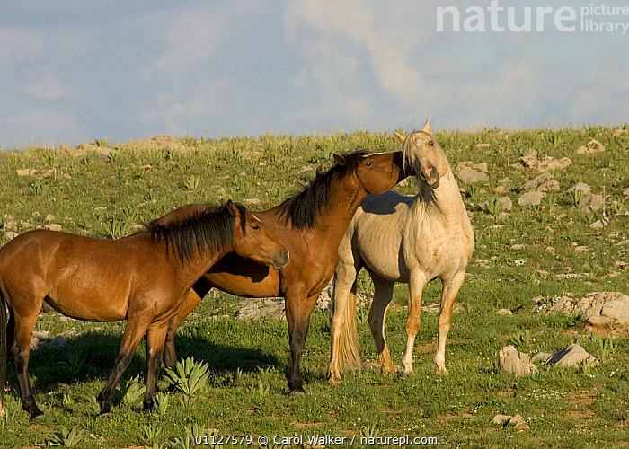 Mustang / Wild horse young stallions play with older stallion, Montana, USA. Pryor, GROUPS,HORSES,MALES,MAMMALS,MOUNTAINS,NORTH AMERICA,PERISSODACTYLA,PLAYING,RESERVE,SOCIAL BEHAVIOUR,THREE,USA,WYOMING,Equines, Carol Walker
