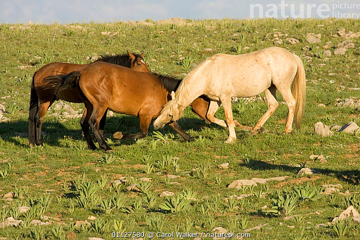Mustang / Wild horse young stallions play with older stallion, Montana, USA. Pryor, BITING,GROUPS,HORSES,MALES,MAMMALS,MOUNTAINS,NORTH AMERICA,PERISSODACTYLA,PLAYING,RESERVE,SOCIAL BEHAVIOUR,THREE,USA,WYOMING,Equines, Carol Walker