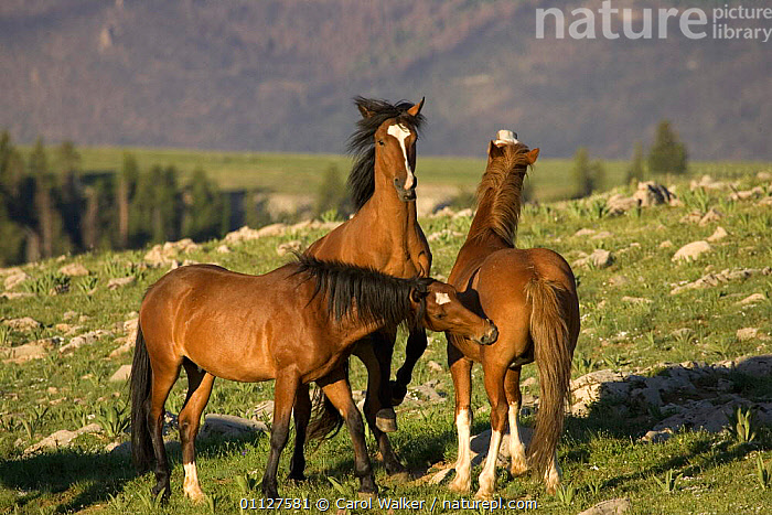 Mustang / Wild horse young stallions play biting, Montana, USA. Pryor mountains HMA, FIGHTING,GROUPS,HORSES,MALES,MAMMALS,NORTH AMERICA,OLDER,PERISSODACTYLA,PLAYING,RESERVE,SOCIAL BEHAVIOUR,STALLION,THREE,USA,WYOMING,Aggression,Concepts,Equines, Carol Walker