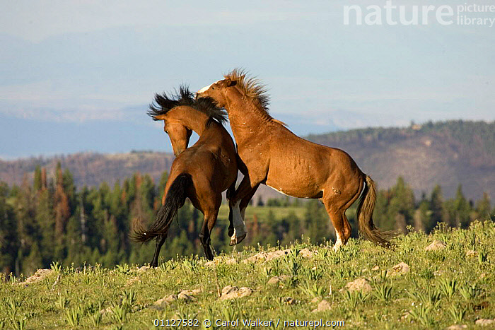 Mustang / Wild horses, young stallions play fighting, Montana, USA. Pryor mountains HM, GROUPS,HORSE,MALES,MAMMALS,NORTH AMERICA,OLDER,PERISSODACTYLA,PLAYING,RESERVE,SOCIAL BEHAVIOUR,STALLION,TWO,USA,WYOMING,Equines, Carol Walker