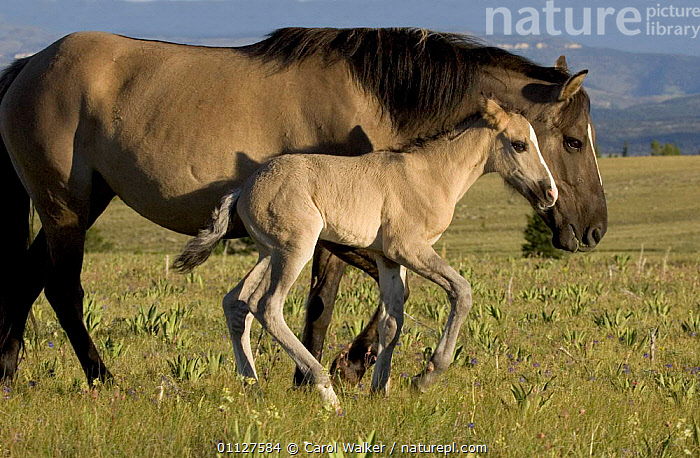Mustang / Wild horse mare with colt walking, Montana, USA. Pryor mountains HMA, BABIES,BABY,CUTE,FAMILIES,FOAL,HORSES,MAMMALS,MARES,MOTHER,NEWBORN,NORTH AMERICA,PERISSODACTYLA,RESERVE,USA,WYOMING,Equines, Carol Walker