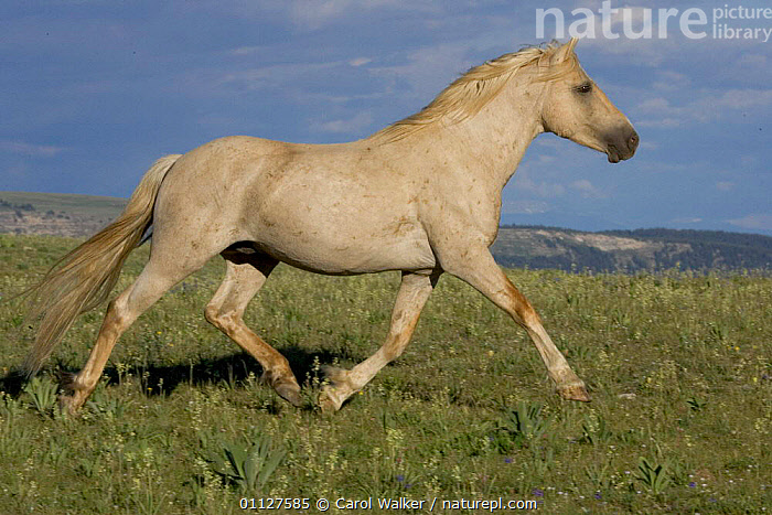 Mustang / Wild horse palamino stallion trotting, Montana, USA. Pryor mountains HM  ,  HORSES,MALES,MAMMALS,MOVEMENT,NORTH AMERICA,PERISSODACTYLA,PORTRAIT,PORTRAITS,PROFILE,RESERVE,RUNNING,USA,WYOMING,Equines  ,  Carol Walker