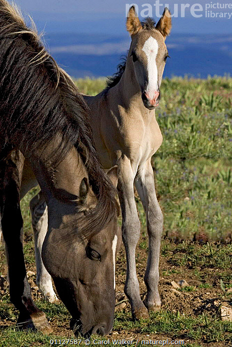 Mustang / Wild horse mare with colt, Montana, USA. Pryor mountains HMA  ,  BABIES,BABY,CUTE,FAMILIES,FOAL,HORSES,MAMMALS,MARES,MOTHER,NEWBORN,NORTH AMERICA,PERISSODACTYLA,RESERVE,USA,WYOMING,Equines  ,  Carol Walker