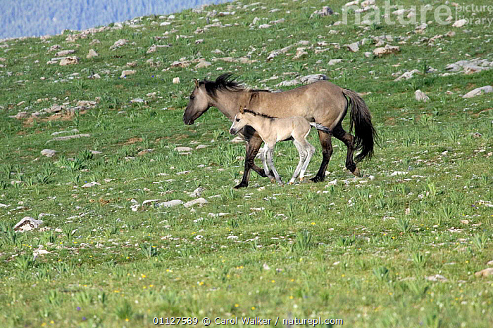 Mustang / wild horse mare and colt running downhill, Montana, USA. Pryor mountains HM, BABIES,BABY,FAMILIES,FOAL,HORSES,MAMMALS,MOTHER,MUSTANGS,NORTH AMERICA,PERISSODACTYLA,USA,Equines, Carol Walker