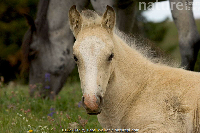 Mustang / wild horse filly portrait, Montana, USA. Pryor mountains HMA, BABIES,BABY,CUTE,FEMALES,FOAL,HORSES,MAMMALS,MUSTANGS,NORTH AMERICA,PERISSODACTYLA,PORTRAITS,USA,Equines, Carol Walker