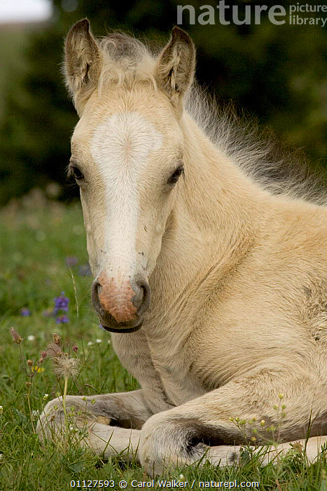 Mustang / wild horse filly portrait, Montana, USA. Pryor mountains HMA, BABIES,BABY,CUTE,FOAL,HORSES,MAMMALS,MUSTANGS,NORTH AMERICA,PERISSODACTYLA,PORTRAITS,RESTING,USA,Equines, Carol Walker