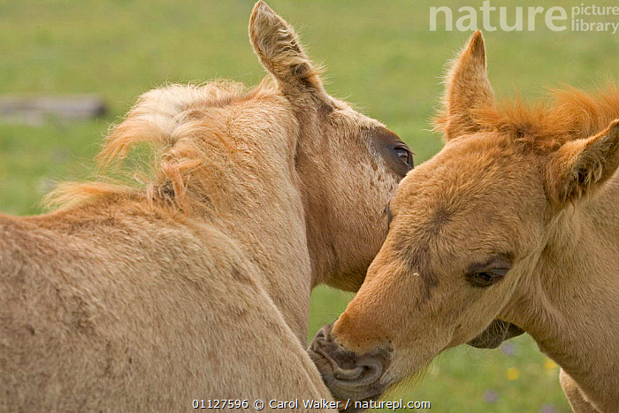 Mustang / Wild horse filly and colt mutual grooming, Montana, USA. Pryor mountains HM, BABIES,BABY,BEHAVIOUR,CUTE,FOAL,HORSES,MAMMALS,MUSTANGS,NORTH AMERICA,PERISSODACTYLA,SCRATCHING,SOCIAL BEHAVIOUR,TWO,USA,YOUNG,Equines, Carol Walker