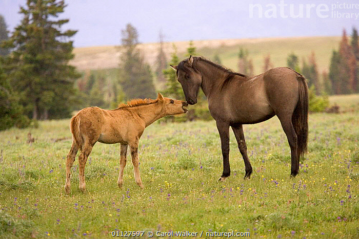 Mustang / Wild horse filly touching nose of mare from another band, Montana, USA., BABIES,BABY,BEHAVIOUR,COMMUNICATION,FOAL,GREETING,HORSES,MAMMALS,MUSTANGS,NORTH AMERICA,PERISSODACTYLA,SOCIAL BEHAVIOUR,TWO,USA,YOUNG,Equines, Carol Walker